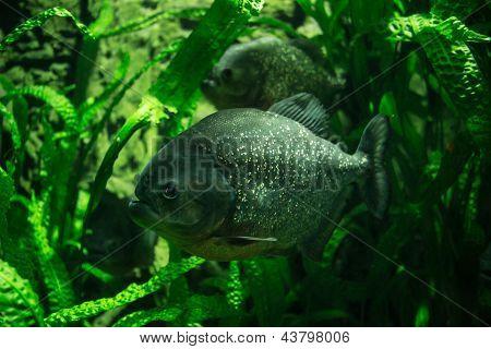 Zwei große Piranhas In Unterwasser Grünpflanzen