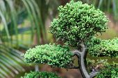 stock photo of juniper-tree  - beautiful juniper bonsai in a botanical garden - JPG