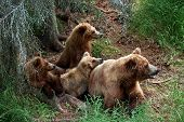 stock photo of grizzly bears  - Grizly Bears at Katmai National Park - JPG