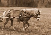 stock photo of blinders  - pony in harness pulling cart - JPG