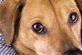 pic of seeing eye dog  - the little dog in the black background - JPG