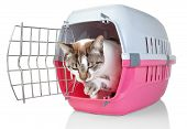 European Cat In Cage Licking His Paw. On A White Background.