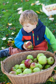 pic of crip  - Little toddler boy with basket full of apples in autumn garden Germany - JPG