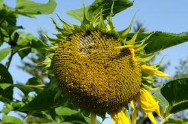 picture of defloration  - closeup of ripe deflorated sunflower head in end of summer - JPG