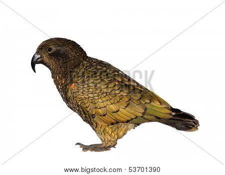 Kea a flightless bird native to new zealand