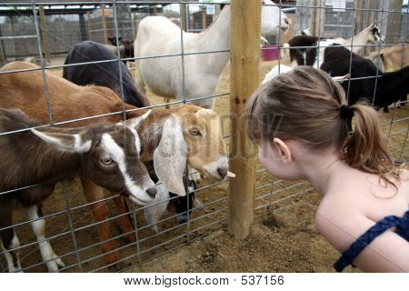 Billy Goats Talking To A Child