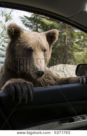Wild Bear On My Car Window