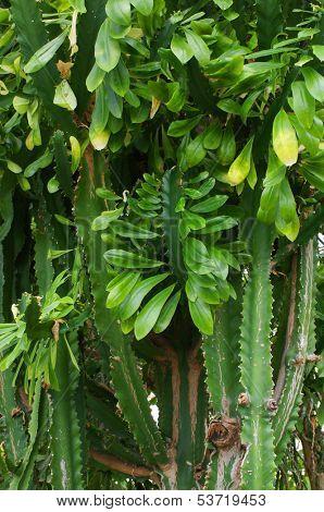 The image of cactus brushwood