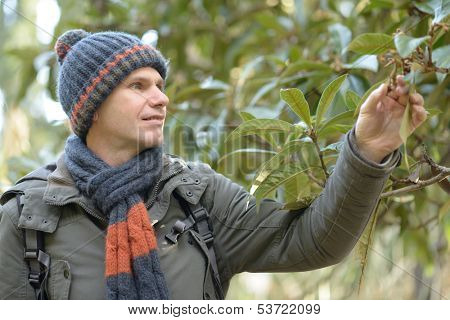 Man in winter clothes looking to medlar tree leaves