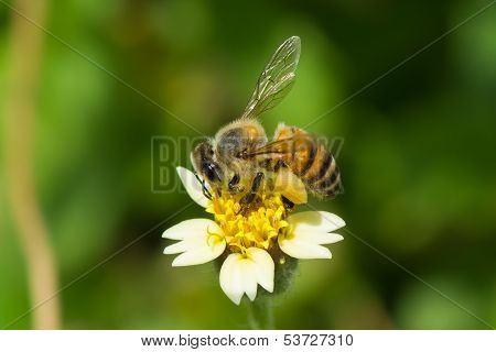 A West African Honey Bee Gathering Pollen
