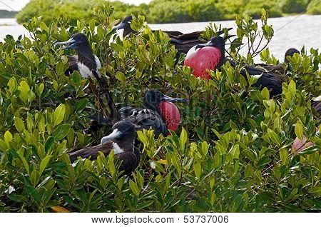 Frigates During Breeding Season, Resting On Mangrove