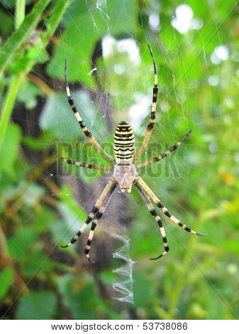 Wasp Spider (argiope Bruennichi) On His Web