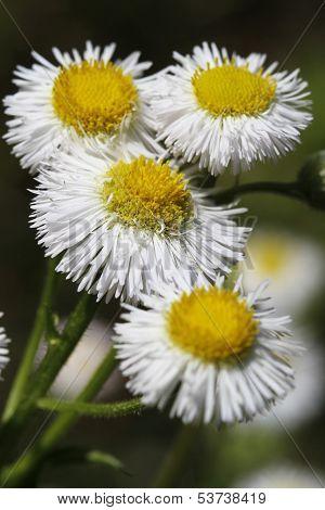 Robin's Plantain Wildflowers - Erigeron pulchellus