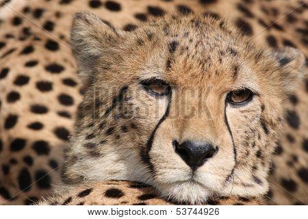 Cheetah (Acinonyx jubatus) stalking, South Africa