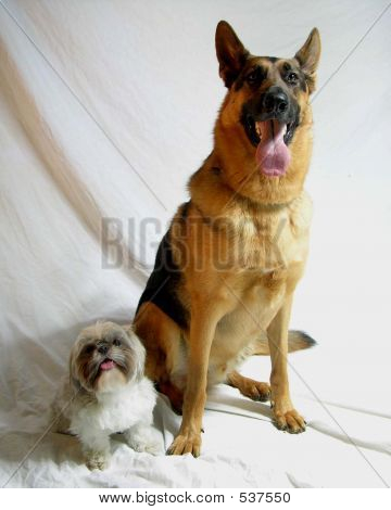 Shih Tzu And German Shepherd
