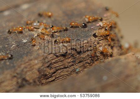 Ant (lasius Niger) Resquing Larva