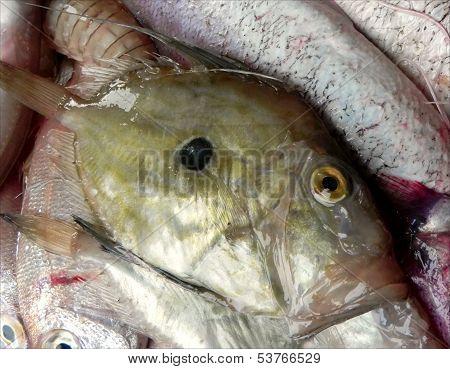 John Dory fish