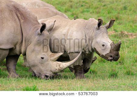 White rhinoceros (Ceratotherium simum) feeding in open grassland, Lake Nakuru National Park, Kenya