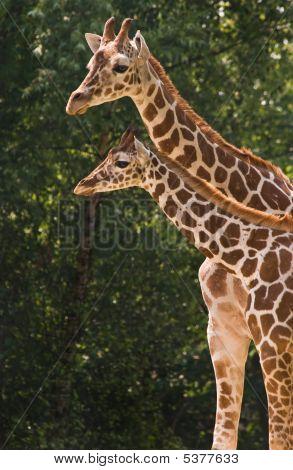 Mutter und Kind-Giraffe
