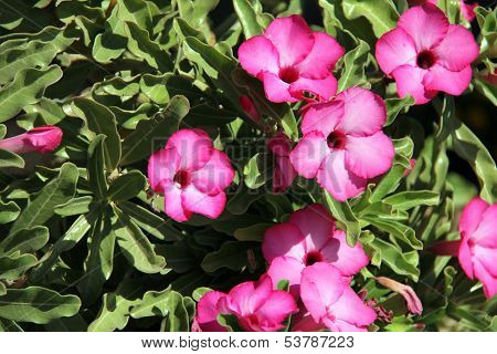 Unusual Tropical  Flowers  Pink Adenium