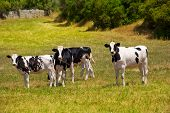 stock photo of moo-cow  - Menorca Friesian cow cattle grazing in green meadow at Balearic Islands of Spain - JPG