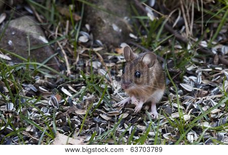 garden or field mouse