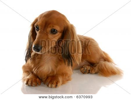 Dachshund Laying Down