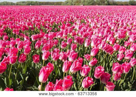 Pink Flowering Tulips
