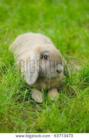 Cute lop-eared rabbit