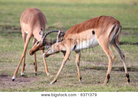 Fighting Impala Antelope