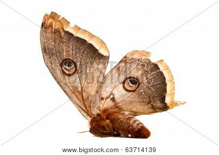Beautiful Giant Silk Moth Butterfly