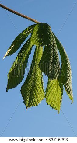Fresh Horse Chestnut Leaves