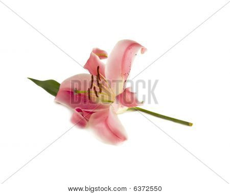 Isolated Pink Lily