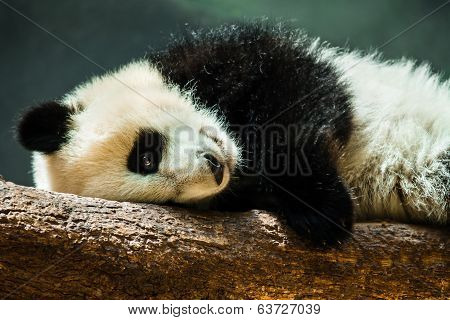 Baby panda cub resting on log