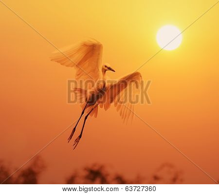 egret play in sunset