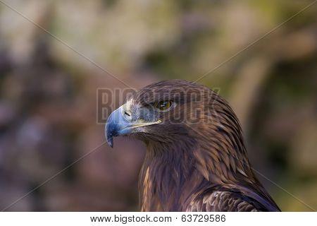 Portrait of a beautiful eagle