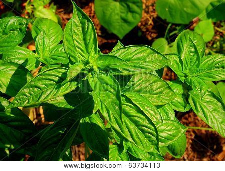 Community Garden Herbs:  Sweet Basil