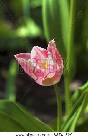 Pink Patchy Tulip Closeup