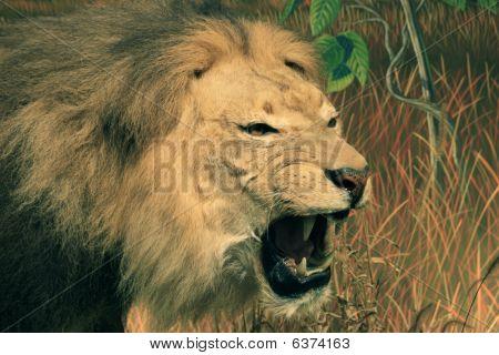 Cabeza de león africano