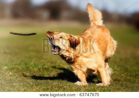 Golden Retriever Chasing A Stick