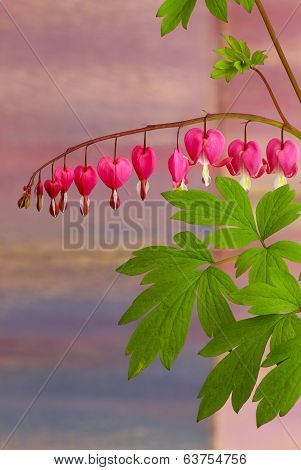 Bleeding Heart Flowers (dicentra Spectabils) Lyre Flower Love Heart