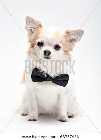 cute Chihuahua dog  with black bow tie