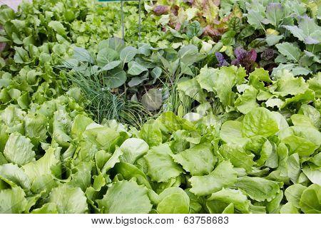 Fresh leafy garden greens.