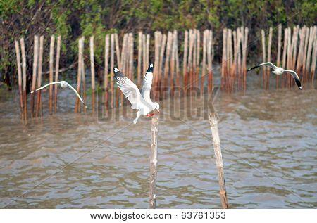 Beautiful Gull Flying, Brown-headed Gull (chroicocephalus Brunnicephalus)