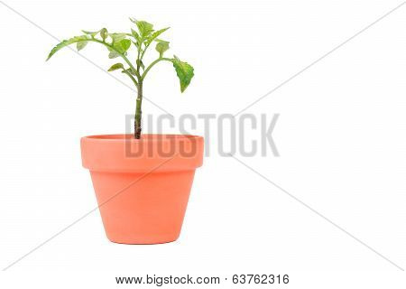 Terracotta Planter With Medium Tomato Plant