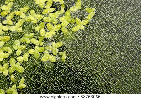 Duckweed Natural Abstract Background