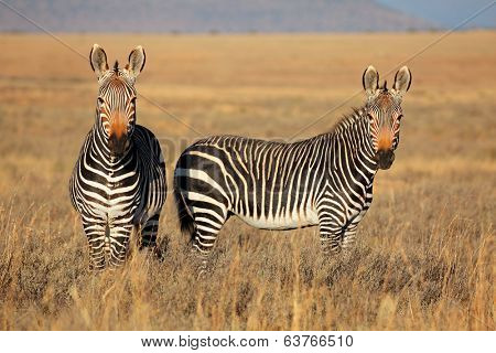 Cape Mountain Zebras (Equus zebra) in grassland, Mountain Zebra National Park, South Africa