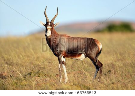 A blesbok antelope (Damaliscus pygargus) standing in grassland, South Africa