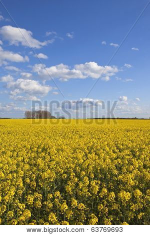 Yorkshire Rape Seed Crop