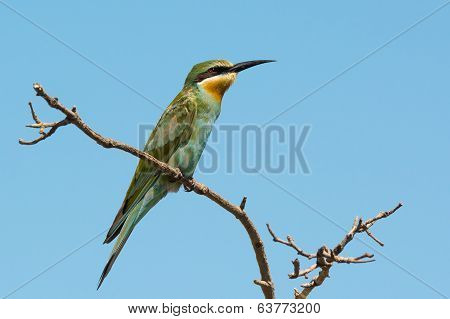 Blue-cheeked Bee-eater Perched On A Branch